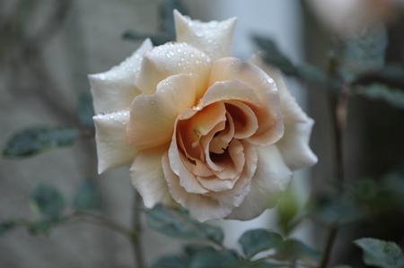 rose20151109-3a.jpg