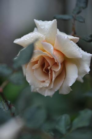 rose20151109-3b.jpg
