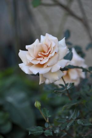 rose20151109-3c.jpg