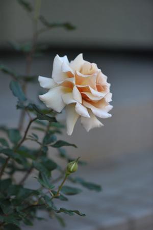 rose20151109-3d.jpg