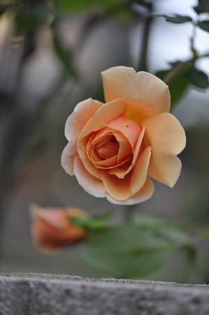 rose20151109-5.jpg