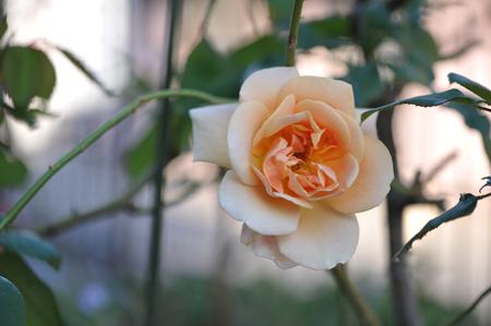 rose20151109-5b.jpg