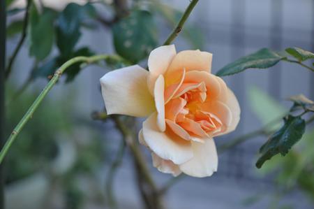 rose20151109-5c.jpg