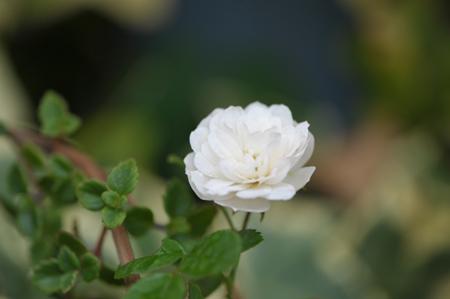rose20151109-7.jpg