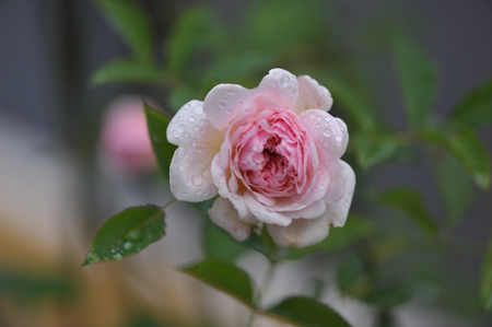 rose20151109-8.jpg