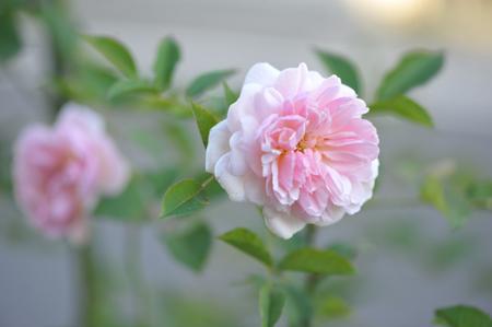 rose20151109-8a.jpg