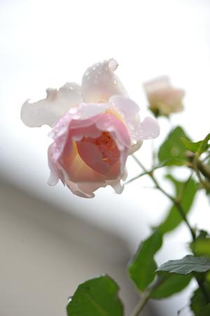 rose20151109-9.jpg