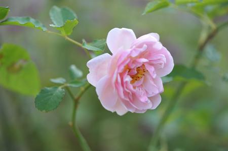 rose20151109-9a.jpg