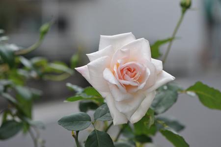 rose20151111-1a.jpg