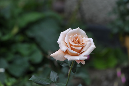 rose20151111-2.jpg
