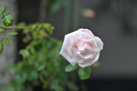 rose20151111-3.jpg