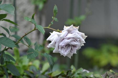 rose20151111-4a.jpg
