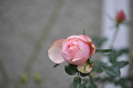 rose20151111-5.jpg