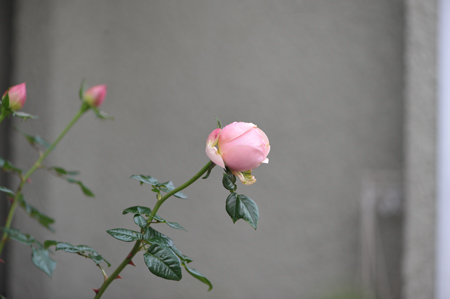 rose20151111-5a.jpg