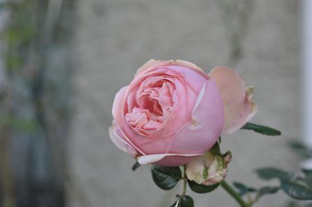 rose20151111-5b.jpg