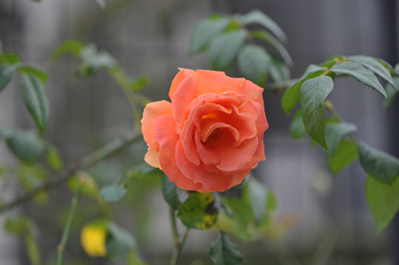 rose20151111-6.jpg