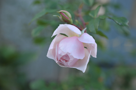rose20151111-7a.jpg