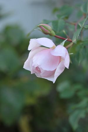 rose20151111-7b.jpg