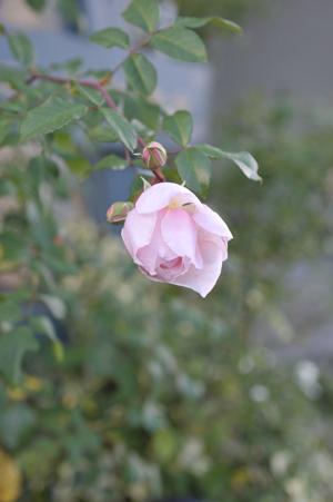 rose20151111-7d.jpg
