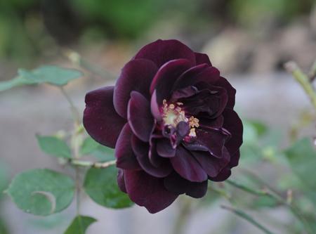 rose20151111-8.jpg