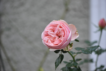 rose20151113-1.jpg