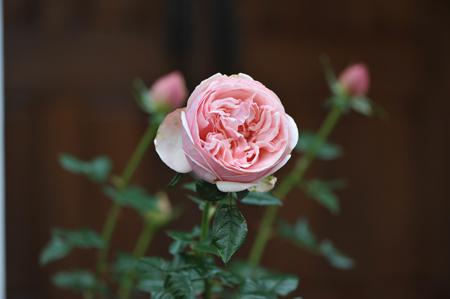 rose20151113-2.jpg