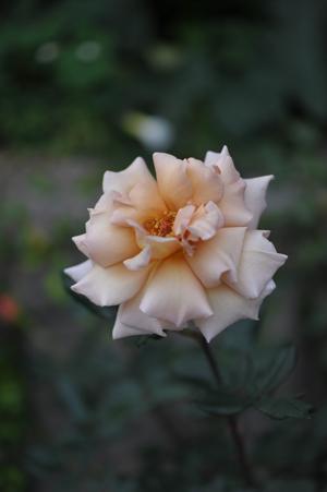 rose20151113-4.jpg