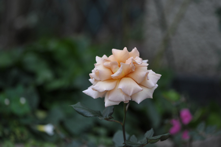 rose20151113-5.jpg