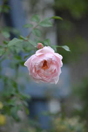 rose20151113-6.jpg