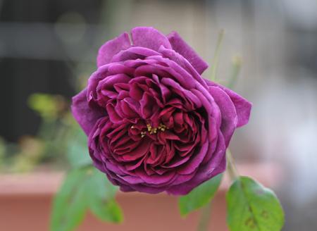 rose20151119-1.jpg