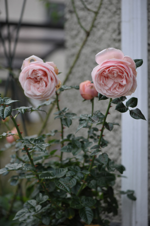 rose20151119-2.jpg