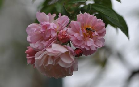 rose20151119-3.jpg