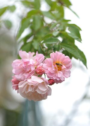 rose20151119-4.jpg