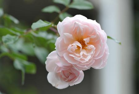 rose20151119-5.jpg
