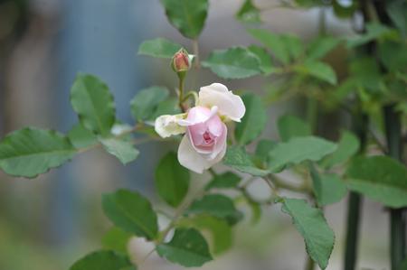 rose20151119-7.jpg