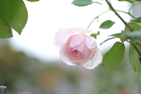 rose20151119-8.jpg