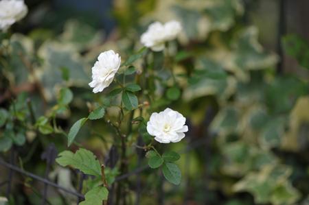 rose20151119-9.jpg