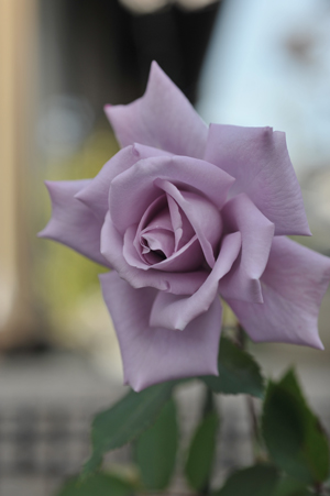 rose20151122-1.jpg
