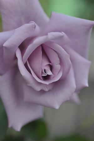 rose20151122-2.jpg