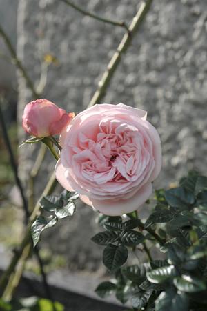 rose20151122-3.jpg