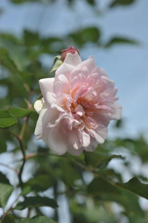 rose20151122-5.jpg