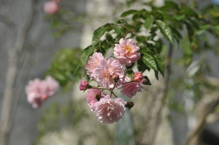 rose20151122-6.jpg