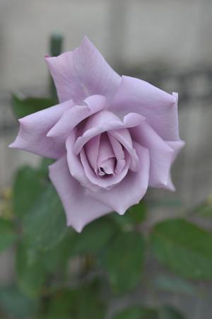 rose20151122-7.jpg
