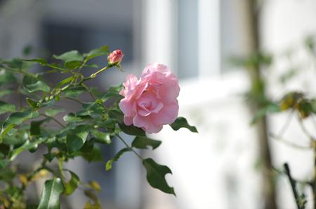 rose20151123-2.jpg