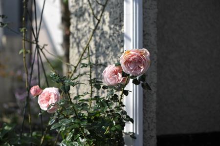 rose20151123-3.jpg