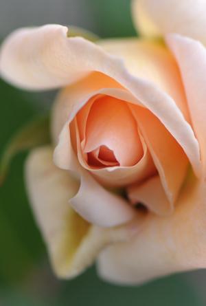 rose20151123-4a.jpg