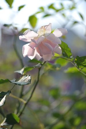 rose20151123-5.jpg