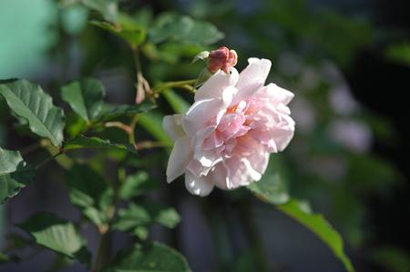 rose20151123-5a.jpg