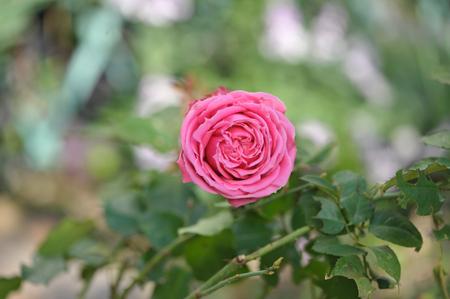 rose20151123-6.jpg