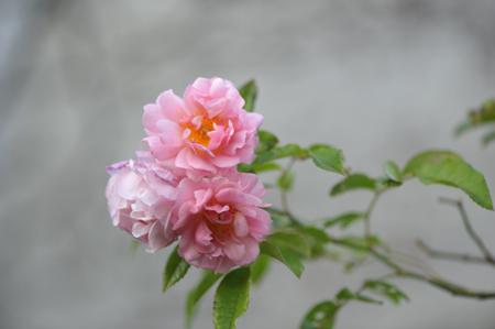 rose20151124-1a.jpg